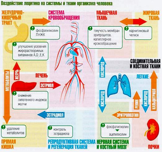 воздействие лецитина на организм
