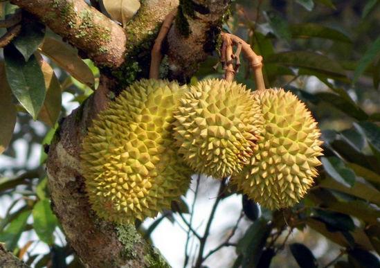 дуриан фрукт - как растет, выглядит