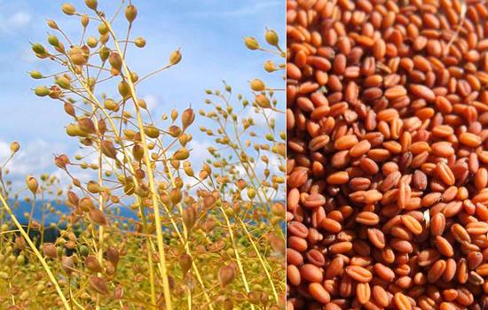 масло из семян рыжика противопоказания