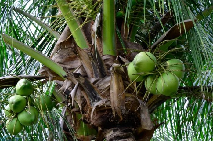 как растет кокос на пальме