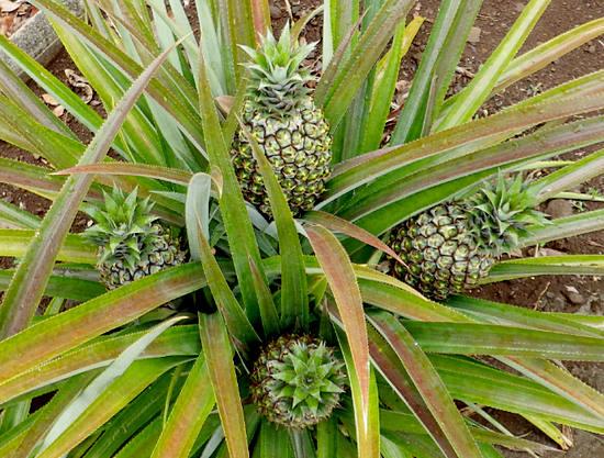 как растут ананасы