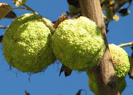 Адамово яблоко рецепты приготовления для лечения псориаза — Псориаз не для нас!