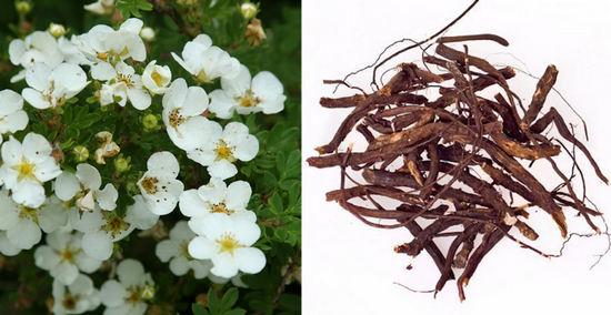 лапчатка белая - применение корня и травы