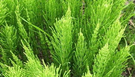 Хвощ полевой – полезные свойства и противопоказания, применение, лечение хвощом