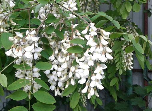 применение цветков акации в народной медицине