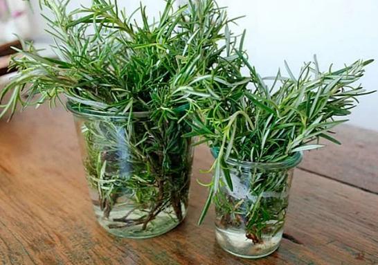 Розмарин лечебные свойства и противопоказания применение травы