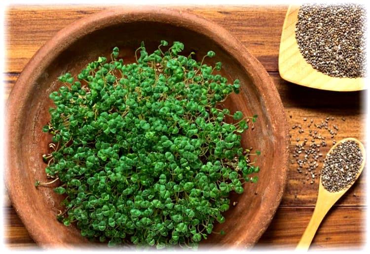 как проращивать семена чиа дома