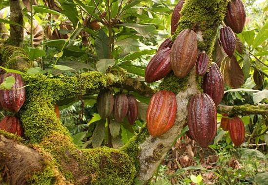 какао бобы польза