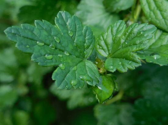 листья крыжовника польза и вред