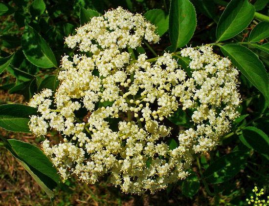 цветы черной бузины свойства и противопоказания
