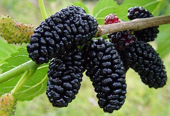 ягода тутовника - шелковицы