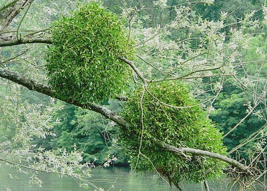 где и как растет омела