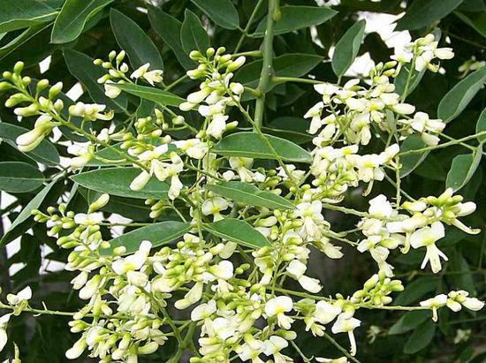 цветы софлоры японской применение в медицине
