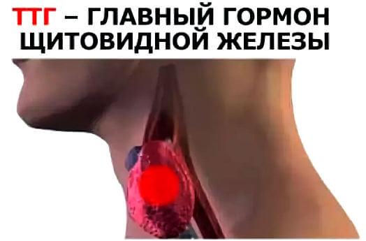 ТТГ гормон щитовидной железы