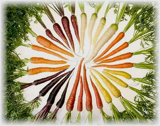 сорта моркови