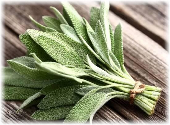 листья шалфея польза для здоровья