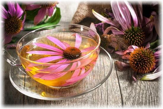 чай с эхинацеей полезные лечебные свойства