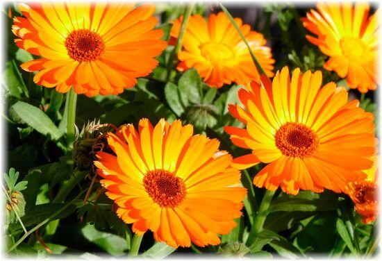 календулы цветы - полезные свойства