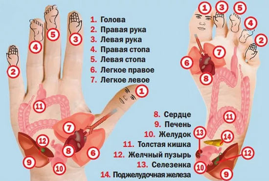 органы на кисти и стопе по су-джок
