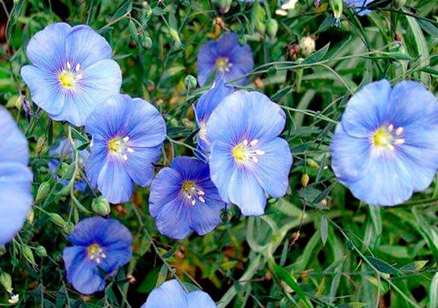 Семена льна – польза и вред, лечебные свойства