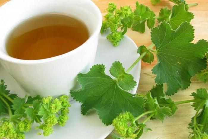 чай с манжеткой польза и вред