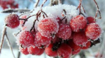 Рябина красная — полезные свойства и противопоказания, рецепты лечения рябиной