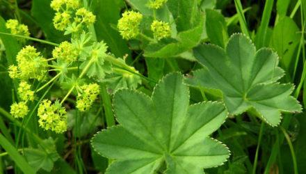 Трава манжетка – лечебные свойства и противопоказания, применение