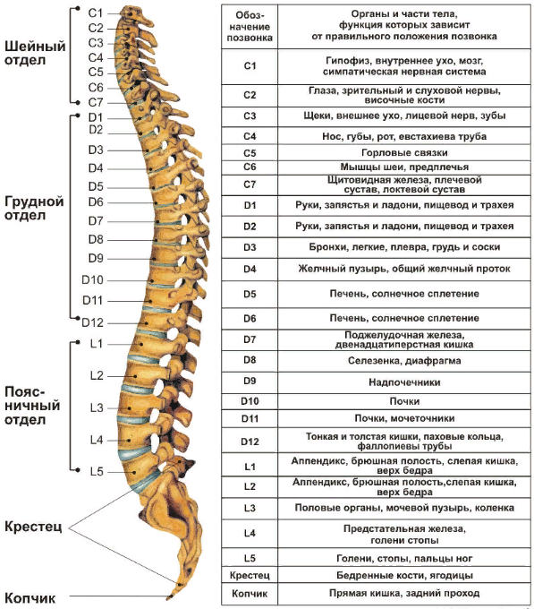 точки воздействия на позвоночник остеопатом