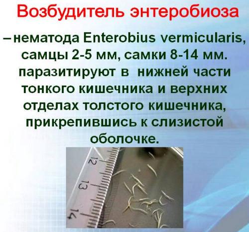 возбудитель энтеробиоза