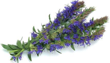 Иссоп — лечебные свойства и противопоказания травы и эфирного масла