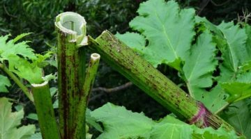 Ядовитое растение борщевик – чем опасен, как лечить ожоги от него