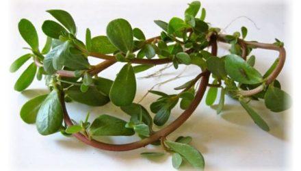 Портулак огородный – лечебные свойства и противопоказания сорняка