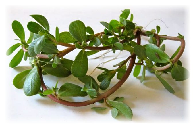 портулак огородный - полезные свойства и противопоказания