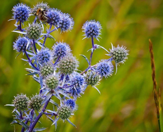 синеголовник полевой - описание растения