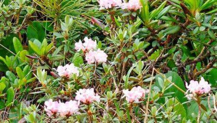 Трава Саган-Дайля — полезные свойства и противопоказания, как заваривать и пить