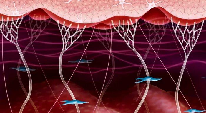 структура коллагена в коже