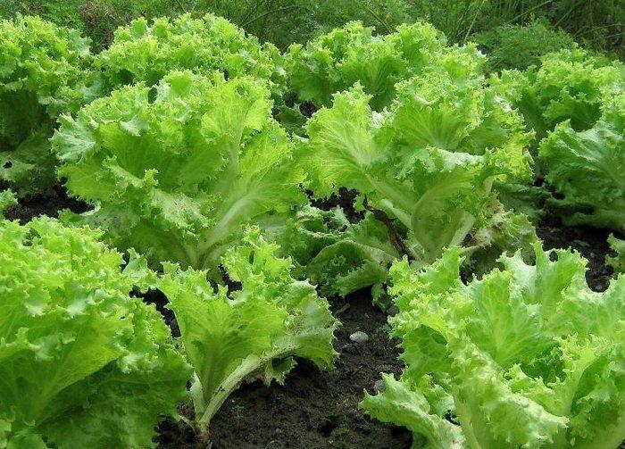 салат листовой посевной - описание, фото