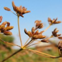 Тмин обыкновенный — полезные свойства и противопоказания, отличия от черного тмина