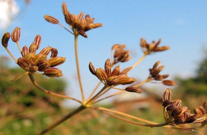 семена тмина - применение в медицине и кулинарии