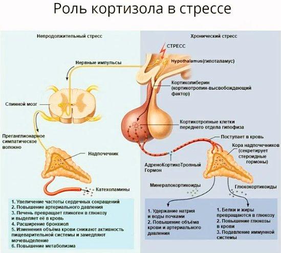 действие кортизола на организм