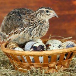Перепелиные яйца — польза и вред, как принимать и сколько варить