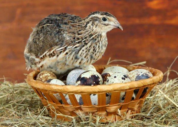 перепелка и ее яйца