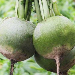 Редька зеленая — полезные свойства и противопоказания, применение в рецептах