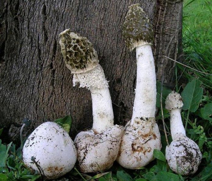 как растут грибы веселка