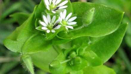 Трава Мокрица – лечебные свойства и противопоказания, применение