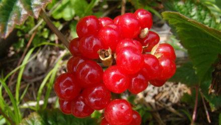 Ягода Костяника — описание, фото, свойства, рецепты применения