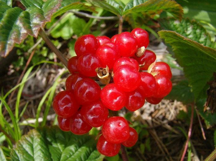 ягода костяника- фото крупным планом