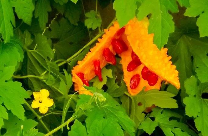 плод с семенами момордики - применение