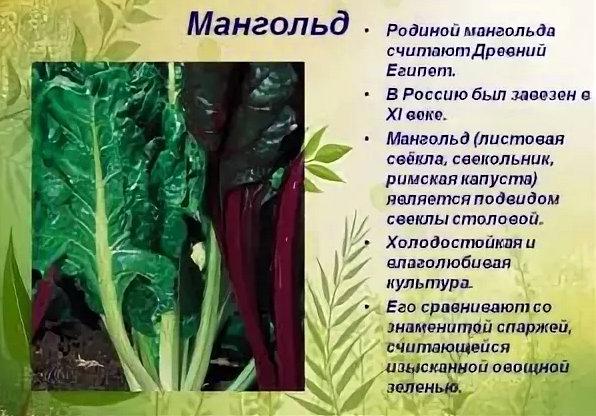 мангольд - все о листовой свекле
