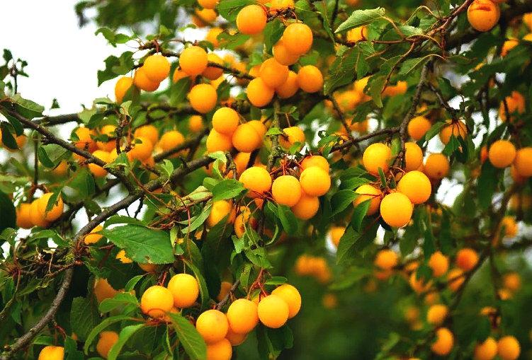 фото алычи на дереве
